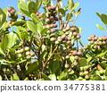 rhaphiolepis umbellata, fruit, green 34775381