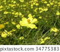 黃花秋櫻 花朵 花 34775383