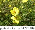 黃花秋櫻 花朵 花 34775384