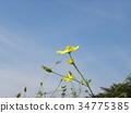 黃花秋櫻 花朵 花 34775385