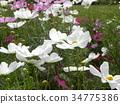 ดอกไม้ฤดูใบไม้ร่วงสีขาวมากมายบานสะพรั่ง 34775386