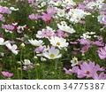 大波斯菊 粉色 白色 34775387