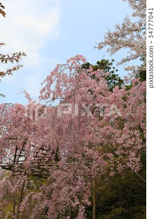 cherry blossom at Ryoan Ji 34777041