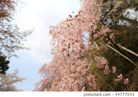 cherry blossom at Ryoan Ji 34777043