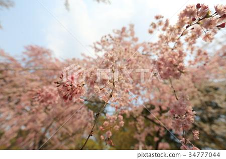 cherry blossom at Ryoan Ji 34777044