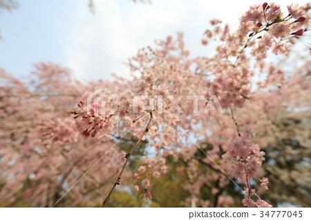 cherry blossom at Ryoan Ji 34777045