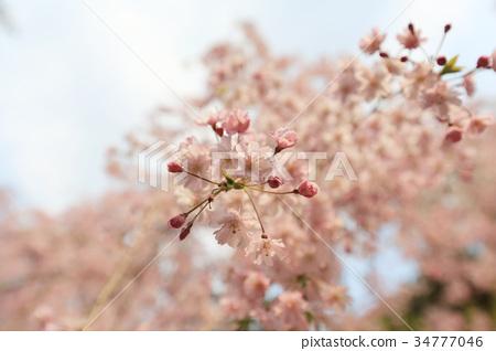 cherry blossom at Ryoan Ji 34777046