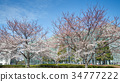 the national art center, spring, cherry blossom 34777222