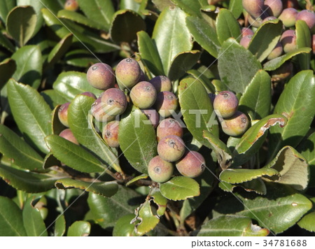 rhaphiolepis umbellata, fruit, green 34781688