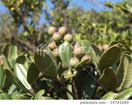 rhaphiolepis umbellata, fruit, green 34781689