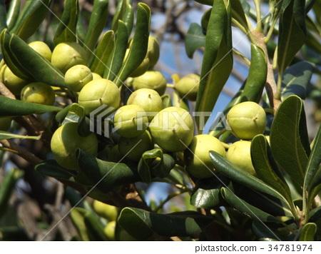 열매, 과실, 노란색 34781974
