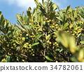 水果 赭石 常青灌木 34782061