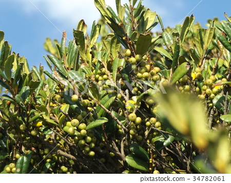 hamahisagaki, fruit, ochre 34782061