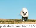 ชีวาวา,สุนัข,สุนัช 34782172