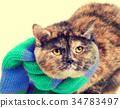 Fashion portrait of cat wearing a scarf 34783497