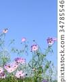 คอสมอส,ฤดูใบไม้ร่วง,ดอกไม้ 34785546