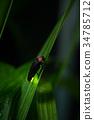 日本的萤火虫 萤火虫 虫子 34785712