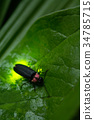 japanese firefly, firefly, lightning bug 34785715