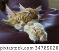 cute MAINE COON  kitten 34789028