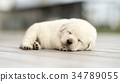 Lovely Labrador Retriever puppy sleeping 34789055