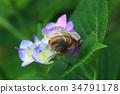 繡球花 花朵 花 34791178
