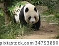 panda, pandas, walk 34793890