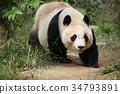panda, pandas, walk 34793891