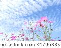 푸른, 하늘, 코스모스 34796885