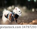 ชีวาวา,สุนัข,สุนัช 34797293