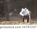 ชีวาวา,สุนัข,สุนัช 34797297