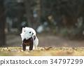 ชีวาวา,สุนัข,สุนัช 34797299