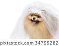 white, canine, spitz 34799282
