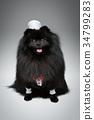 white, canine, spitz 34799283