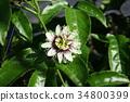 passion, fruit, passionfruit 34800399
