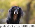 개, 강아지, 미니추어닥스훈트 34800606