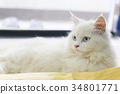 white persian cat is lying with yellow chamois 34801771