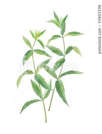 lemon verbena, berubenu, leaf 34803596