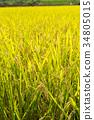 쌀 수확 전 이삭 34805015