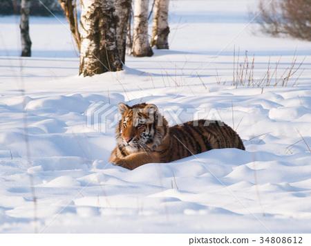 Siberian tiger lying on snow - Panthera tigris 34808612