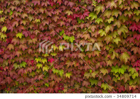 colorful leaves of wild grapes on the wall 34809714