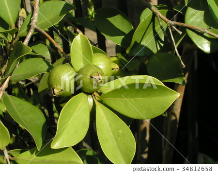 Fruits of the tropical fruit Hime Guava that will soon be colored 34812658