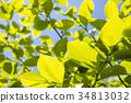 柿子树 柿叶 树叶 34813032