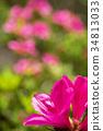 杜鹃花 花朵 花卉 34813033