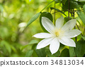 clematis florida, clematis, iron wire 34813034