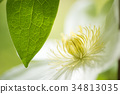 clematis florida, clematis, iron wire 34813035