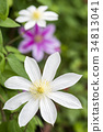clematis florida, clematis, iron wire 34813041