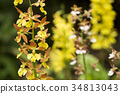calanthe discolor (orchid), flower, flowers 34813043