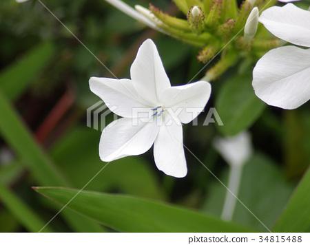 白花丹屬 藍雪花 藍色石墨 34815488