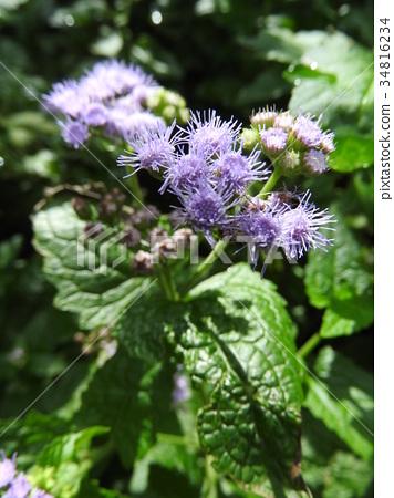 """아게라타무의 꽃말은 멋지다. 컷에 """"신뢰, 행복, 안락함 '등의 꽃말을 더해주고 싶다. 34816234"""