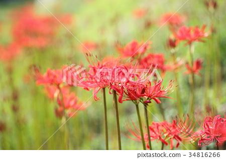 ดอกไม้,ฤดูใบไม้ร่วง,ดอกไม้ฤดูใบไม้ร่วง 34816266